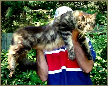 Maine coon cats for sale knoxville tn