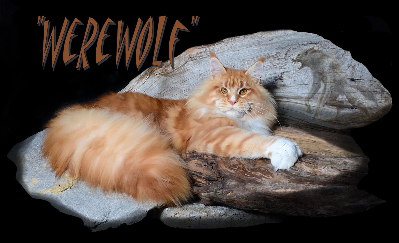 image of a Maine Coon