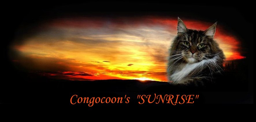 image of a maine coon cat named sunrise
