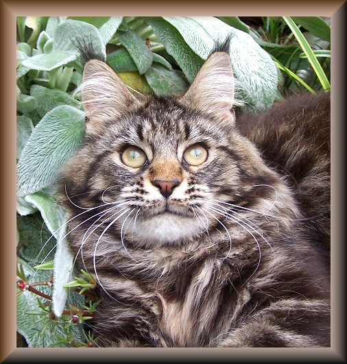 image of a brown maine coon cat in flowers