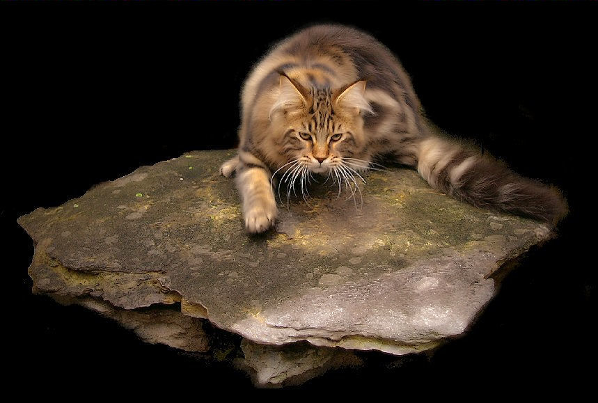 brown tabby maine coon from congocoon cattery laying on rock