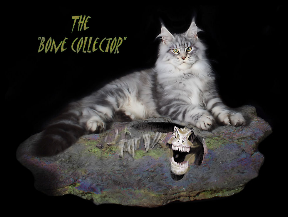 Breeding Maine Coon Stud Cats of Congocoon Cattery