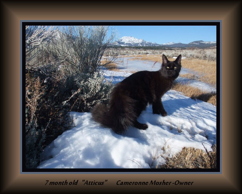 picture of a black maine coon in snow