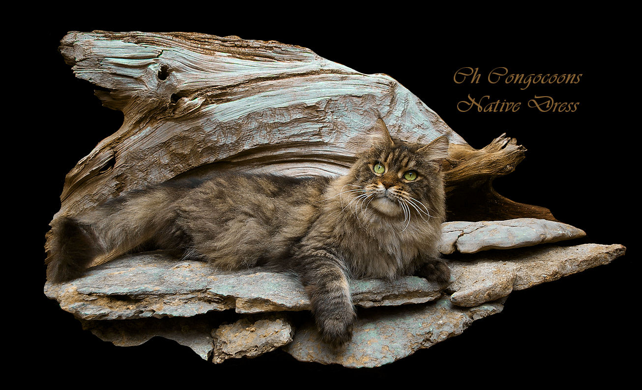 picture of a champion maine coon cat