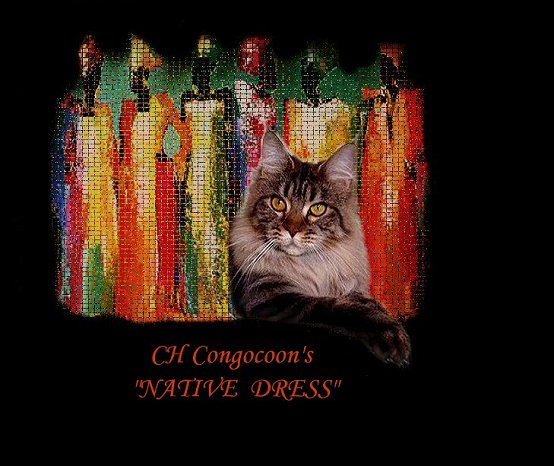 image of a champion maine coon cat named native dress