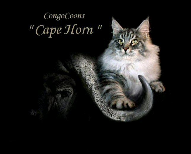 image of a silver tabby male maine coon named horn