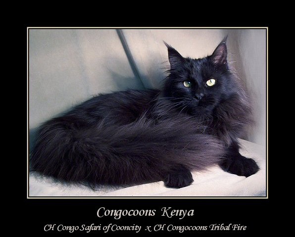 image of a solid black female maine coon cat