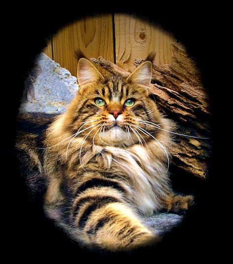 big brown tabby maine coon male stud cat