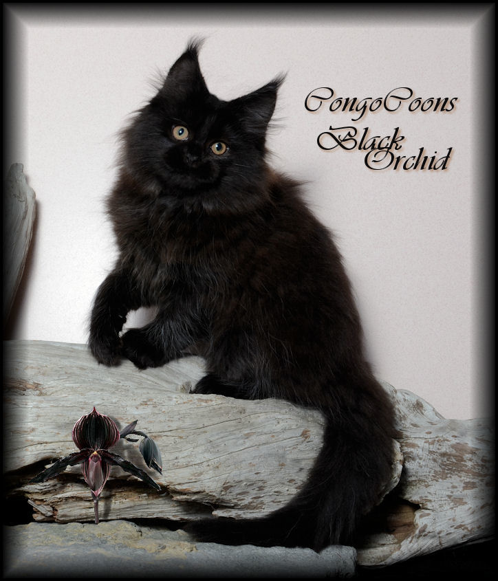 image of a solid black female maine coon kitten
