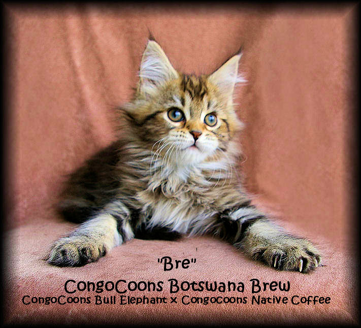 image of a brown tabby baby maine coon cat