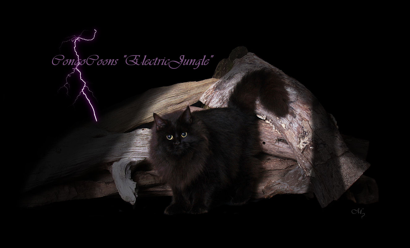 image of a solid black maine coon cat with lightening in the background