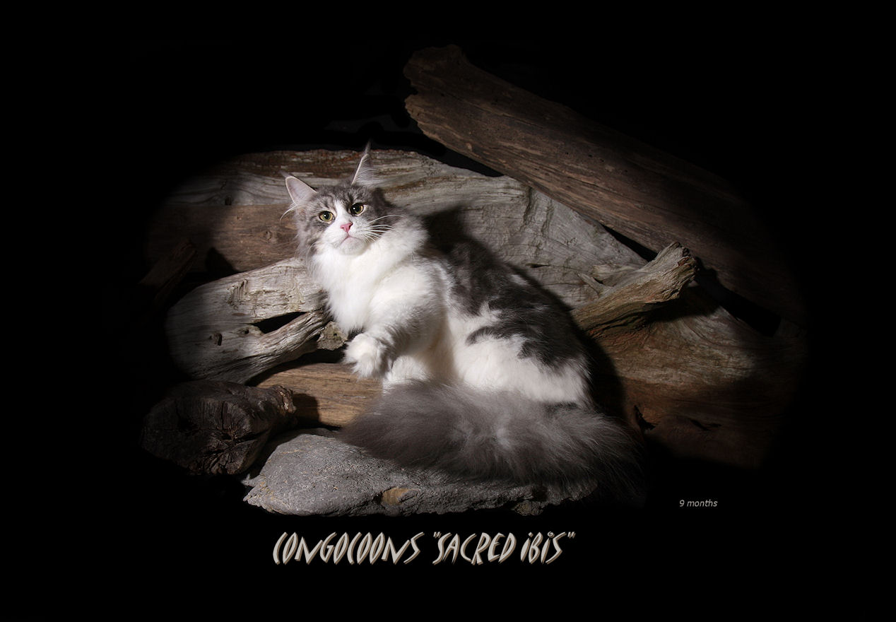 image of a silver and white maine coon cat