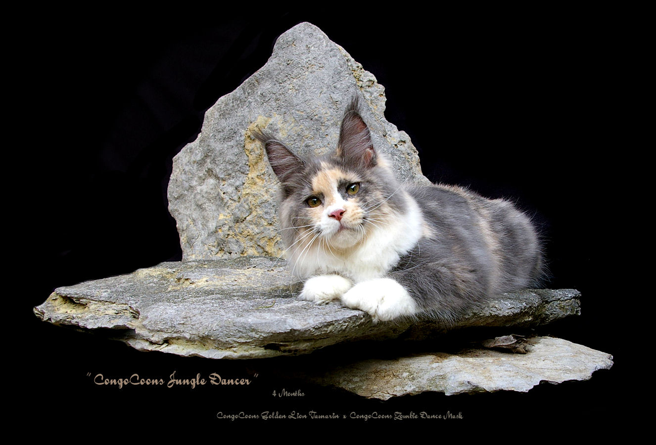 image of a blue smoke tortie and white maine coon cat laying on a rock