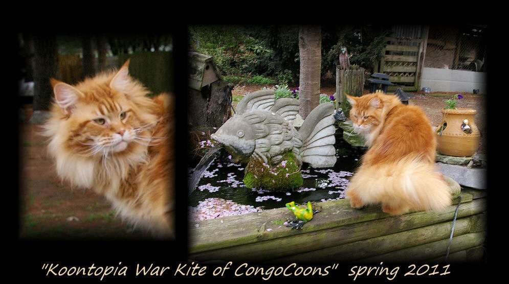 image of warkite, a red tabby maine coon cat