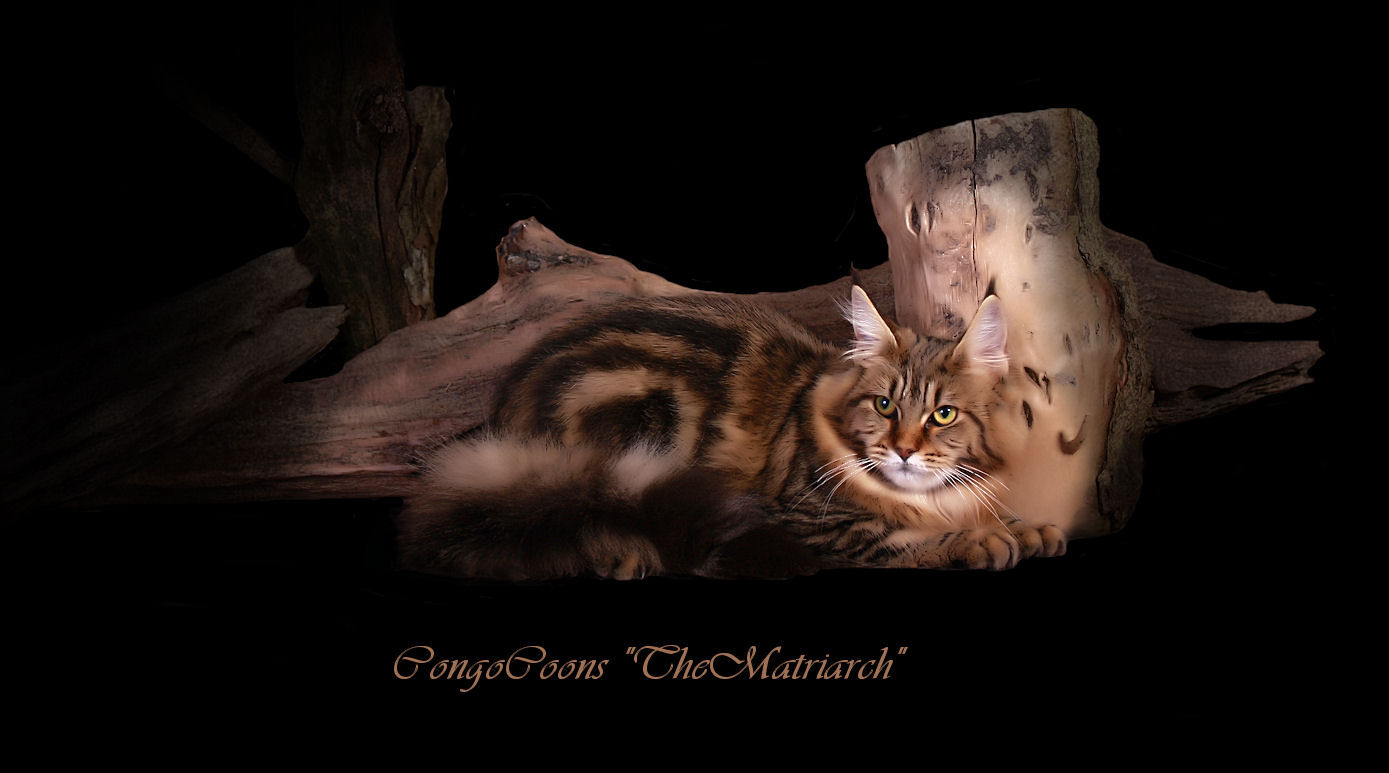 image of a beautifully patterned brown tabby maine coon cat