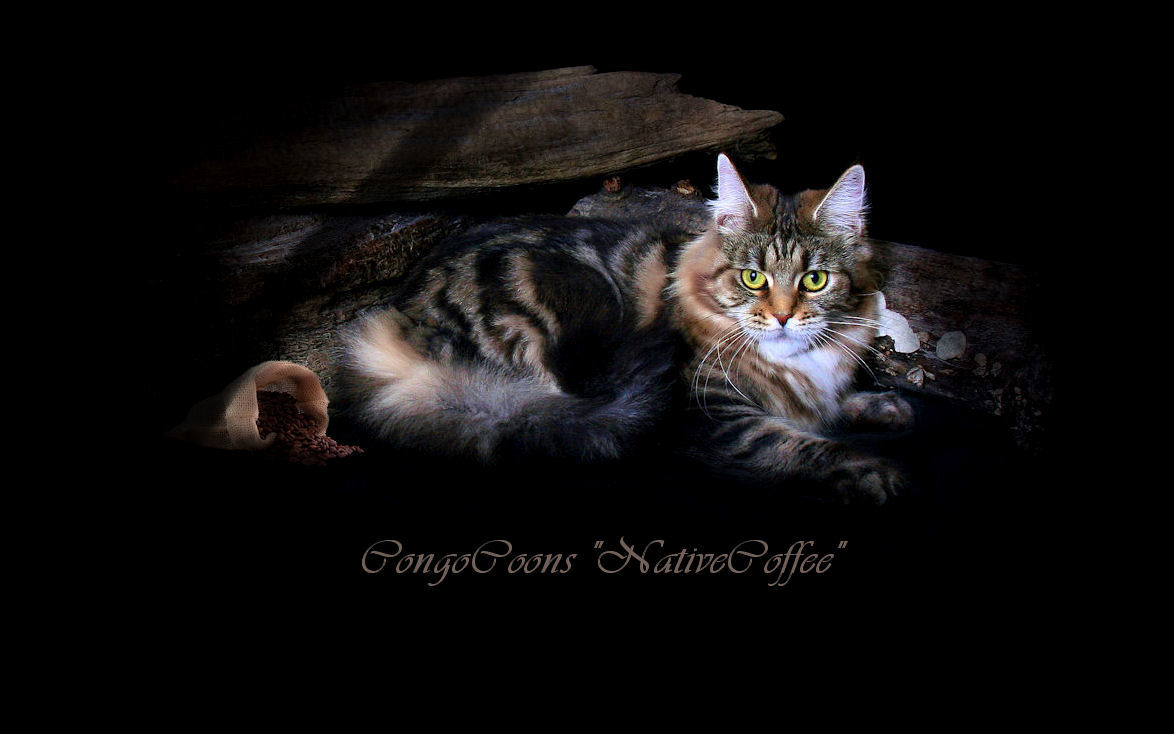 picture of a maine coon cat named coffee