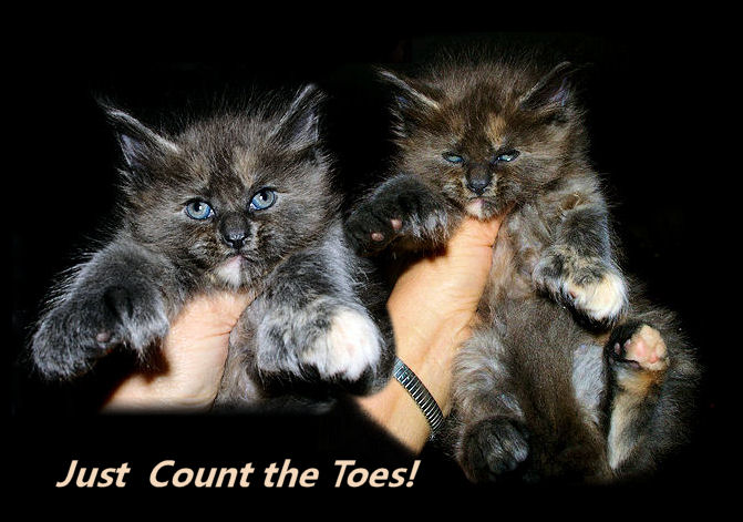 maine coon poly toed kitten showing off big feet