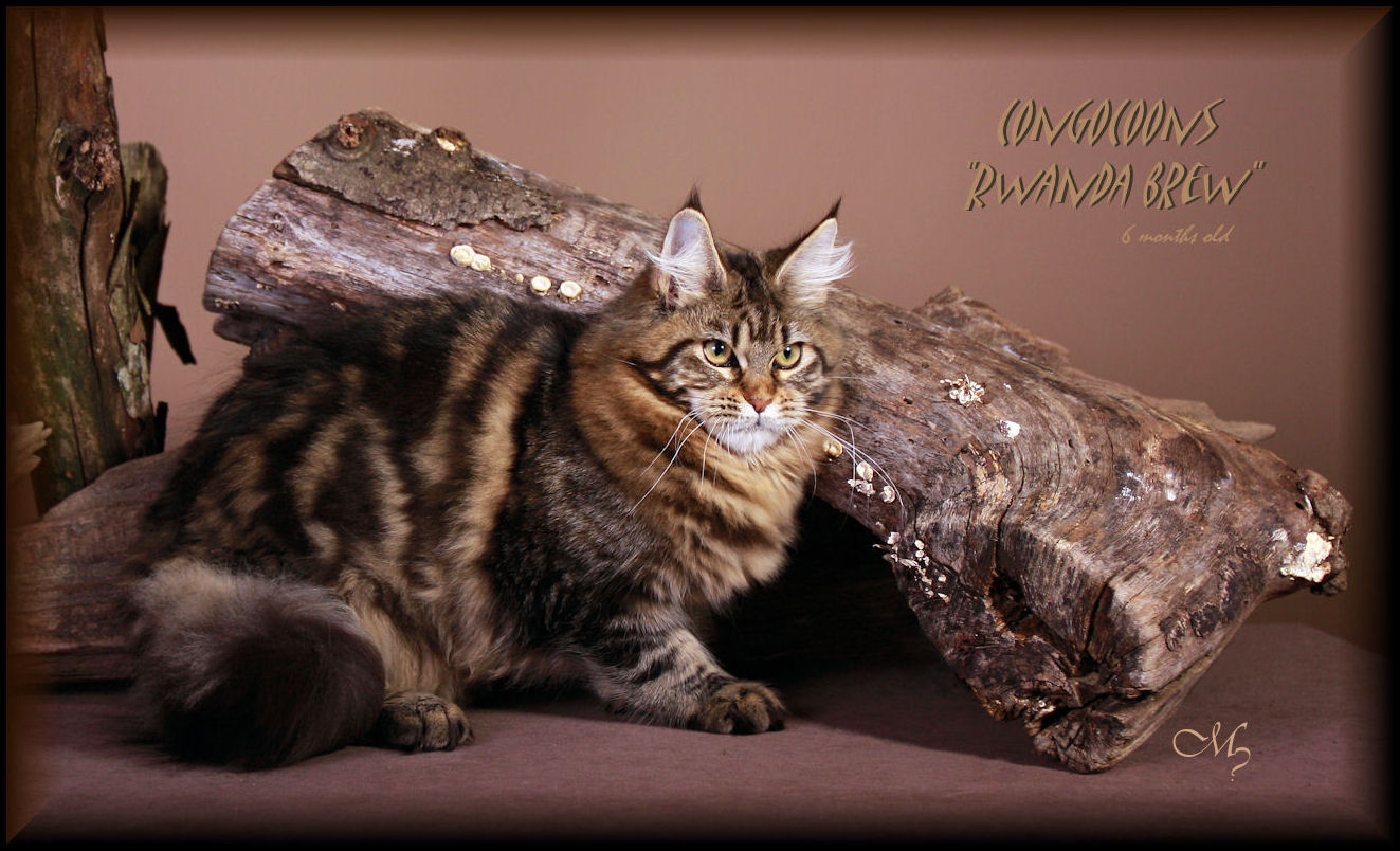 image of a beautiful brown tabby maine coon female cat