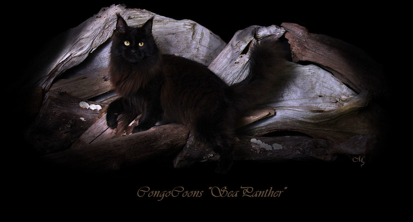 Retired Maine Coon Stud Cats of Congocoon