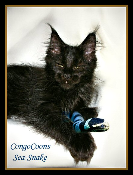 picture of a solid black maine coon breeding female cat