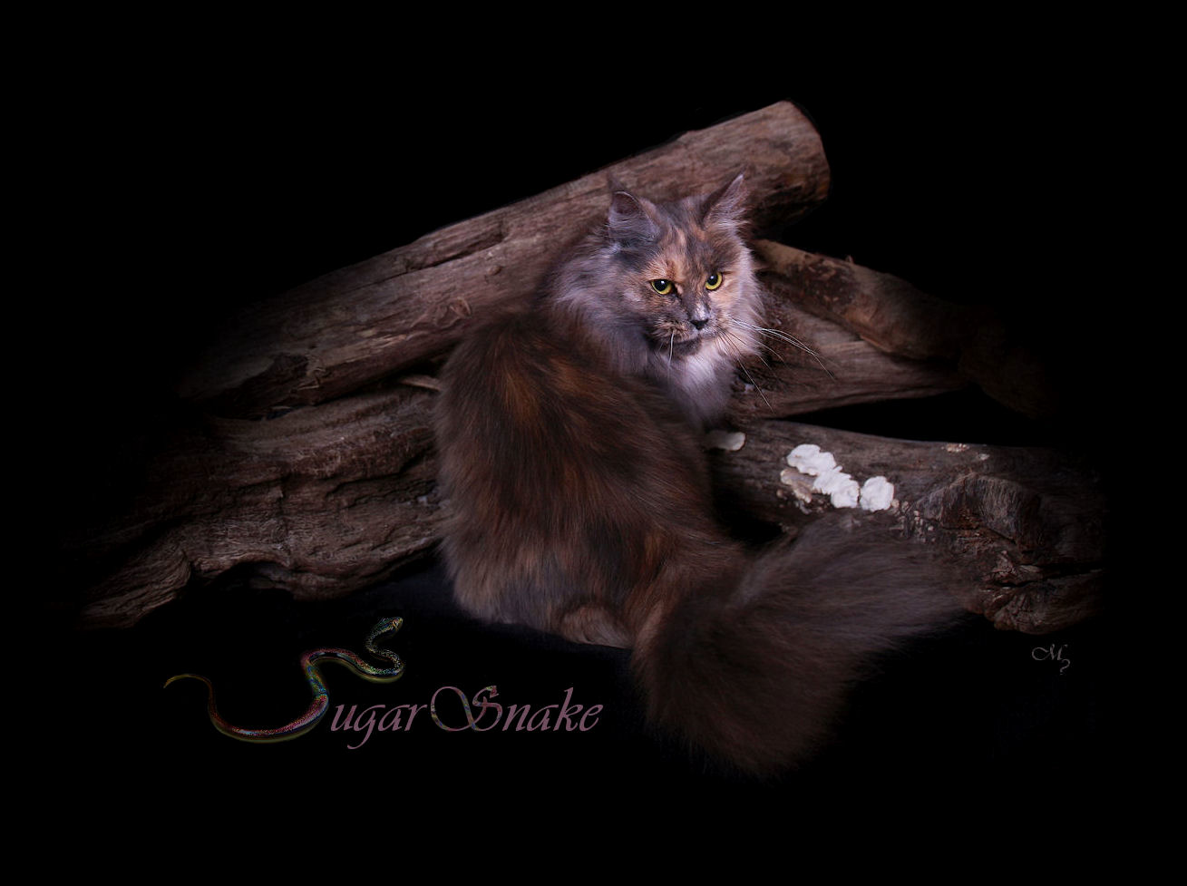 image of a blue patched maine coon female cat