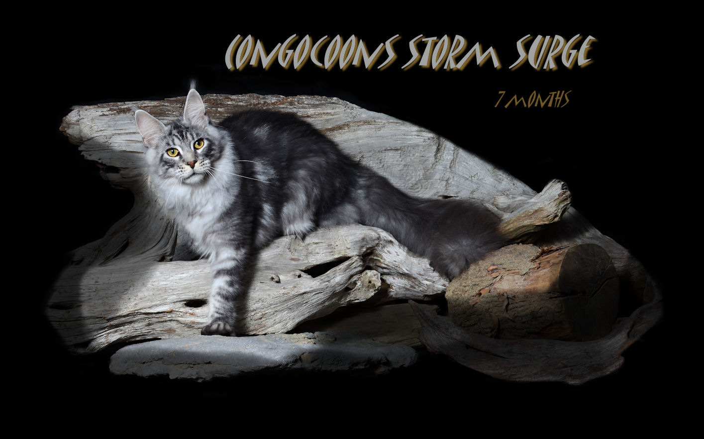 Silver Tabby Male Maine Coon in Photograph
