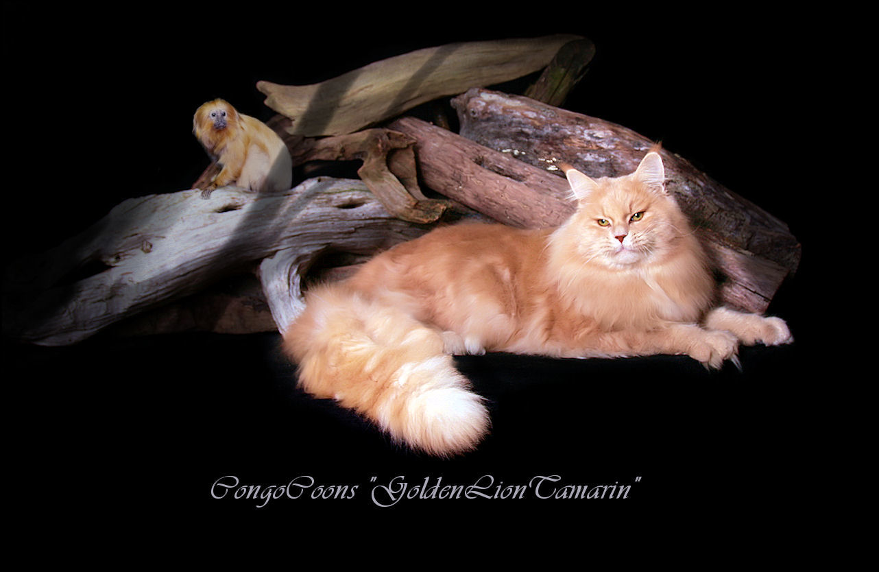 image of a cream tabby maine coon cat laying in front of a log