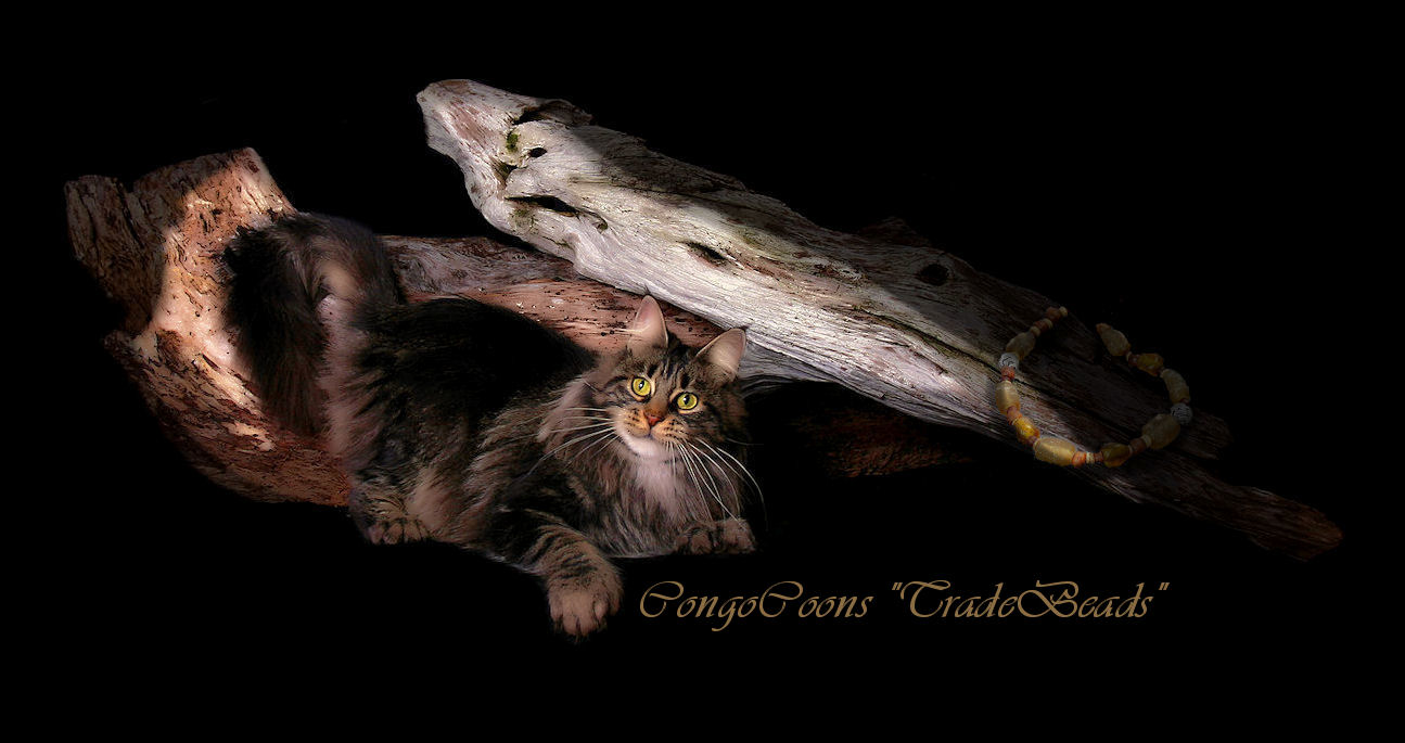 picture of a brown tabby maine coon cat with poly feet and beads on a log