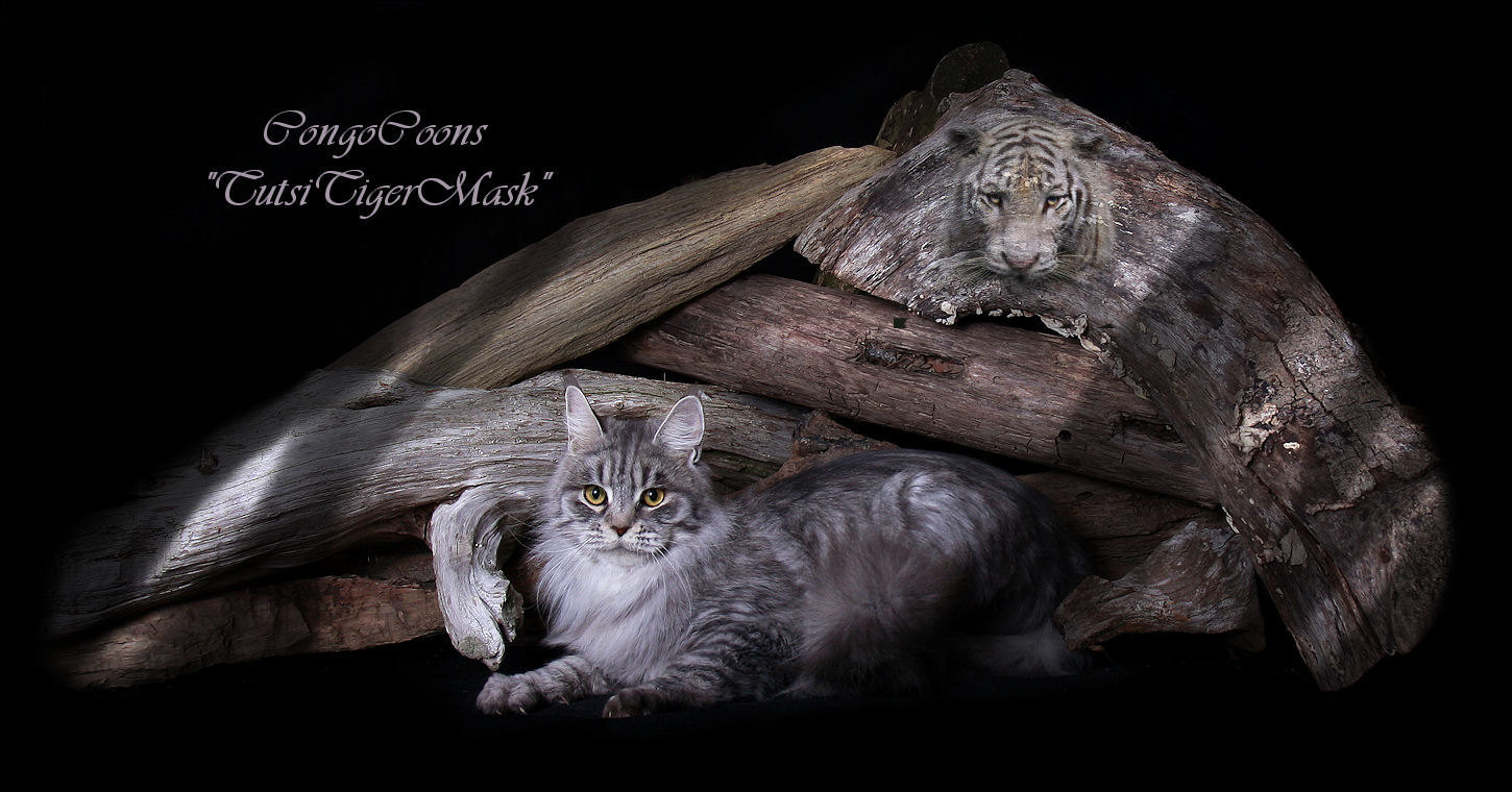 image of a silver tabby maine coon female cat that is large