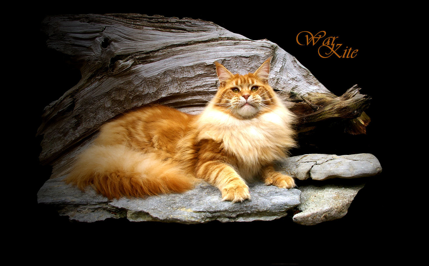 photo of a red tabby maine coon at eleven months old