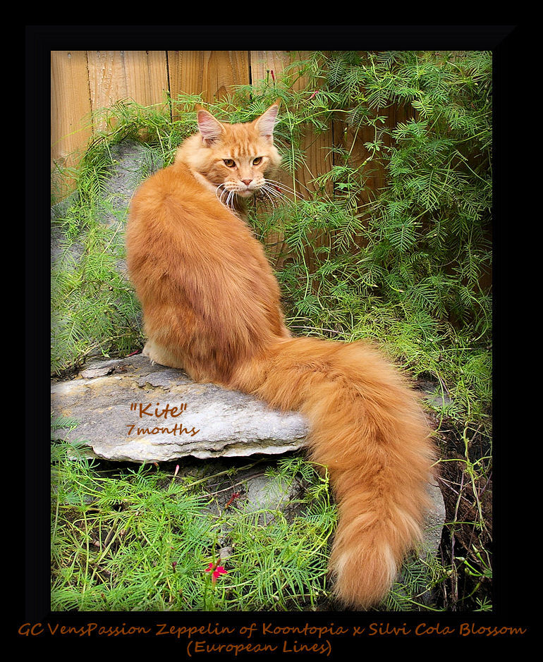 image of a seven month old red tabby maine coon cat