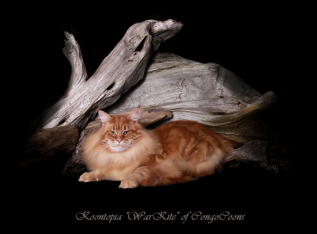 image of a red tabby maine coon cat from european bloodlines