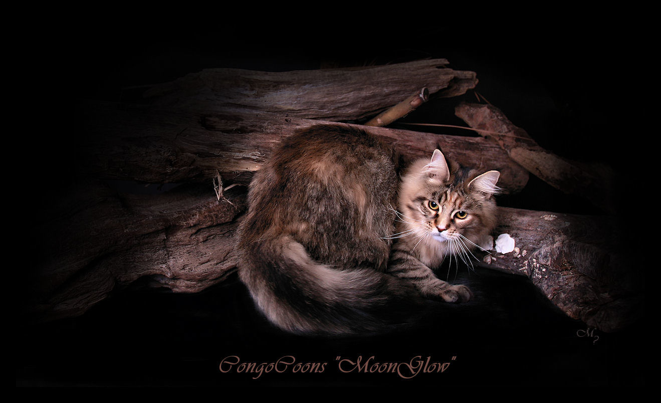 image of a brown patched maine coon cat