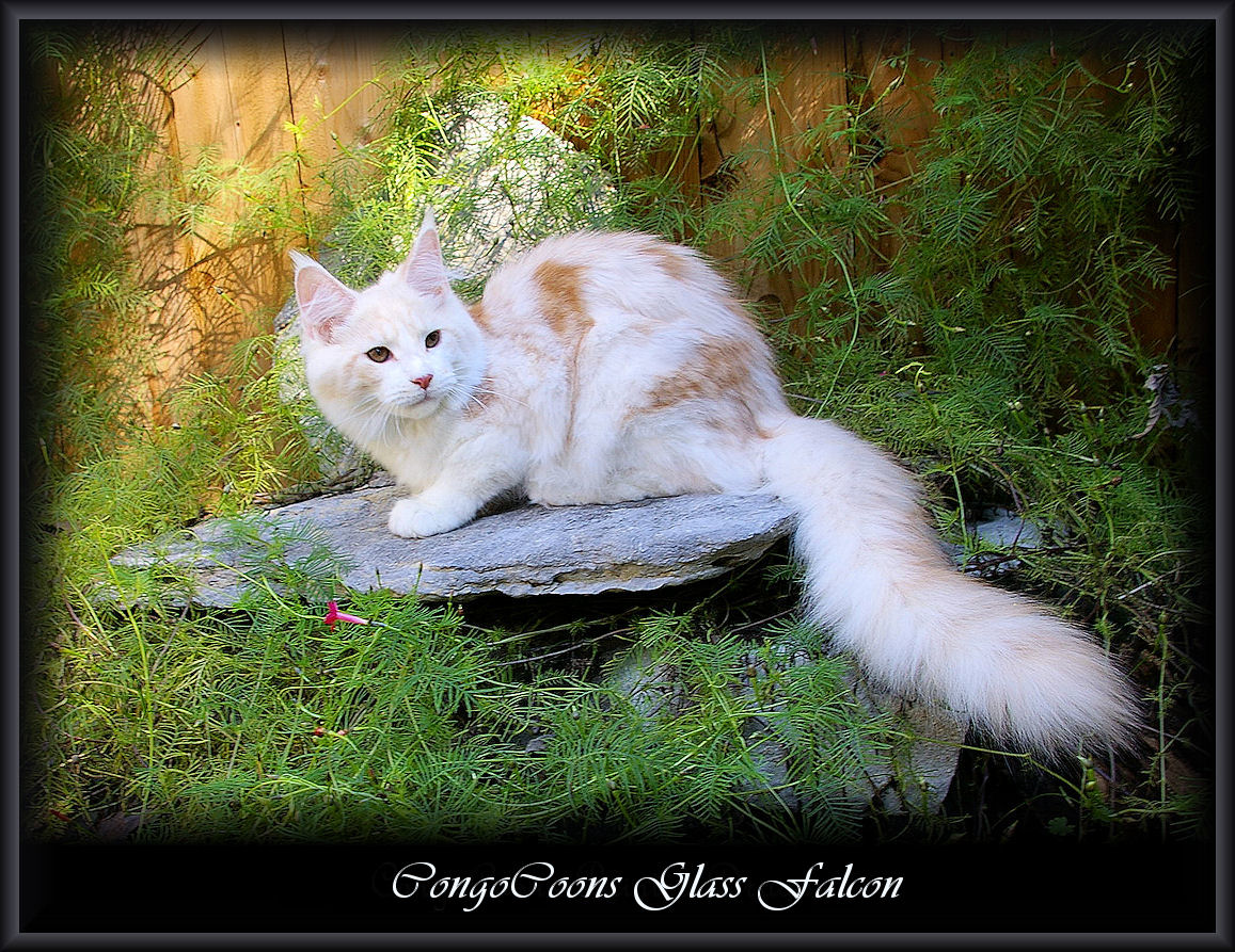 image of a cameo and white maine coon cat