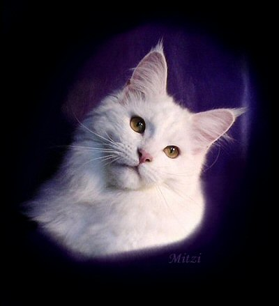 image of a gold eyed white maine coon cat