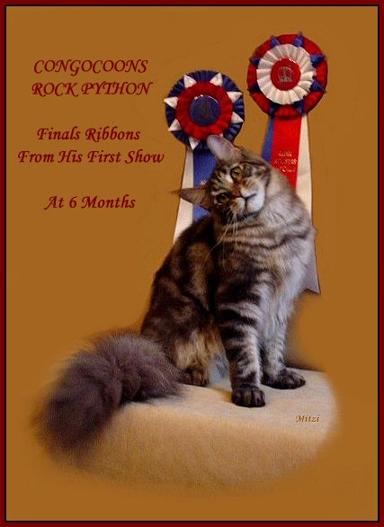 Photo Gallery Of Adult Maine Coon Cats Of Congocoons