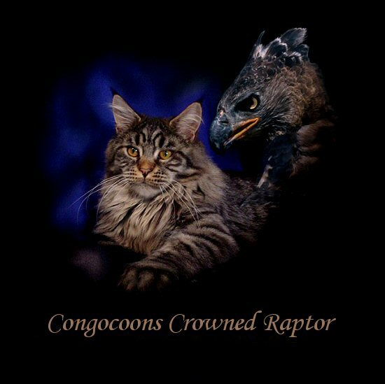 image of a mean looking maine coon cat named raptor