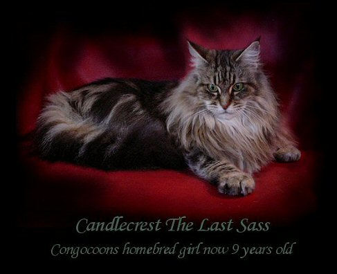 image of a maine coon cat now retired