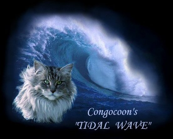 image of a congocoon maine coon cat