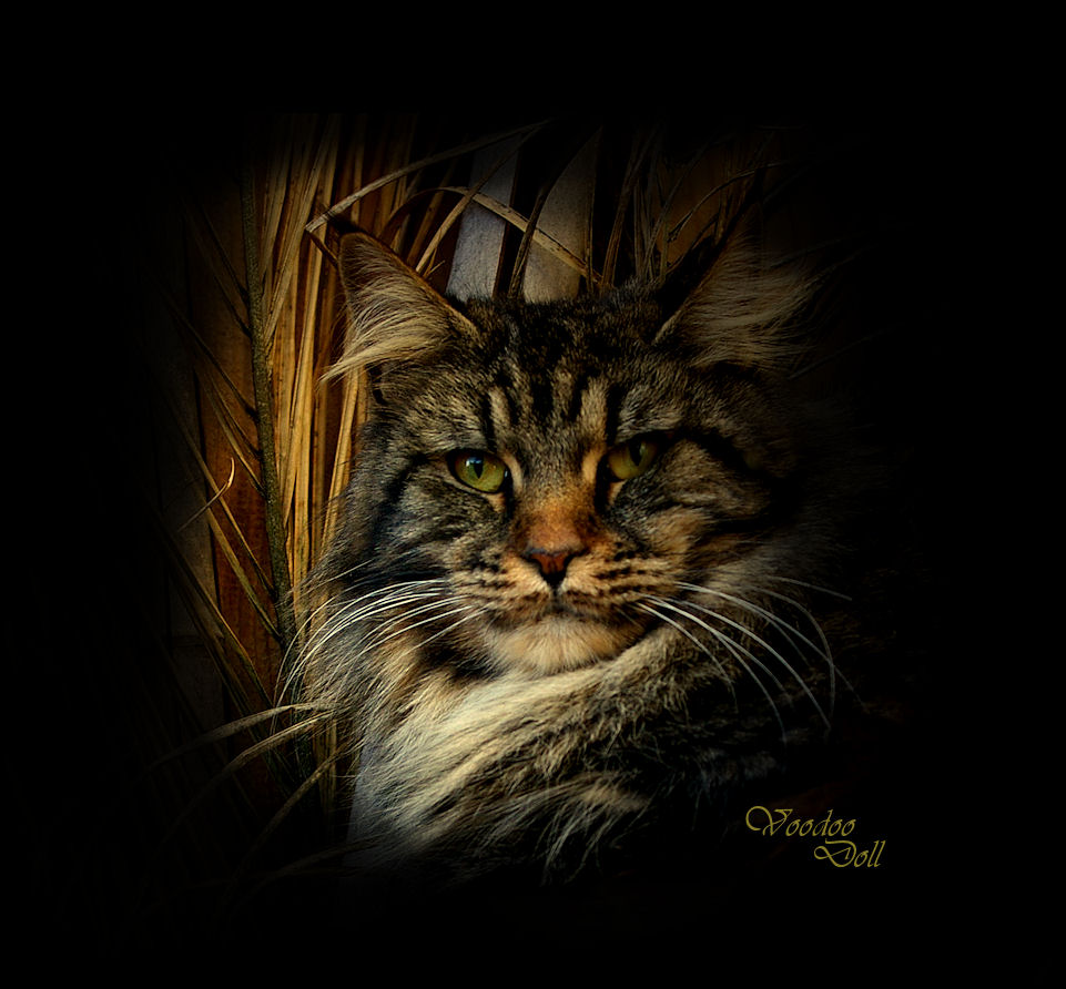image of a brown tabby maine coon close up of face