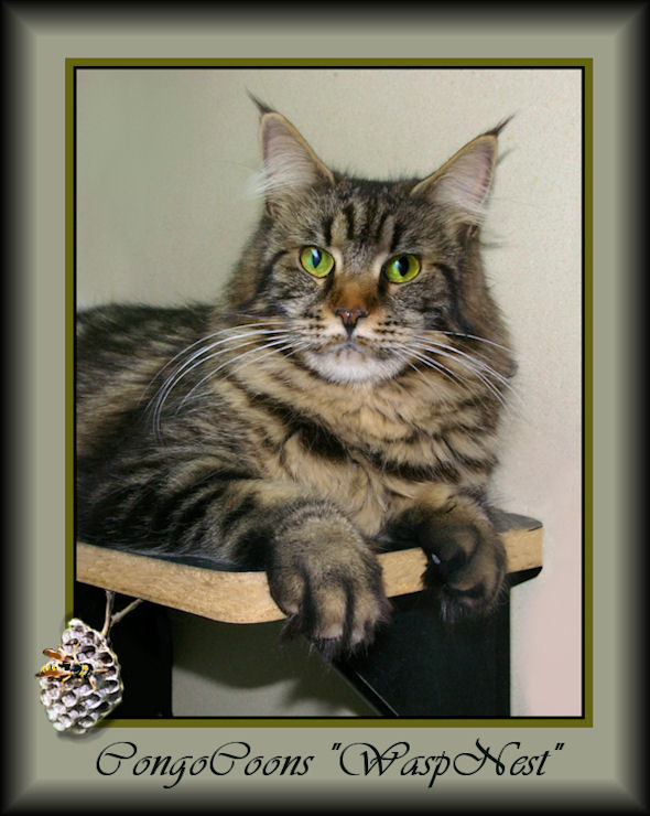 image of a brown tabby maine coon
