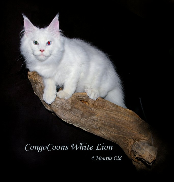 image of a champion white maine coon from congocoon cattery