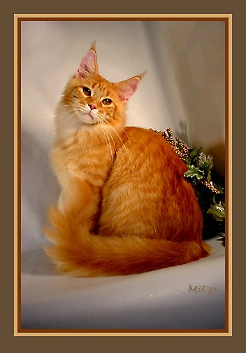 image of a red tabby maine coon in beautiful pose