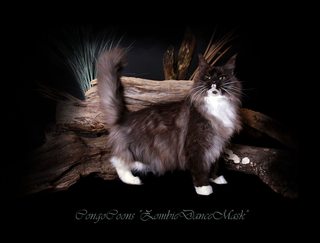 image of a black smoke maine coon cat with white trim